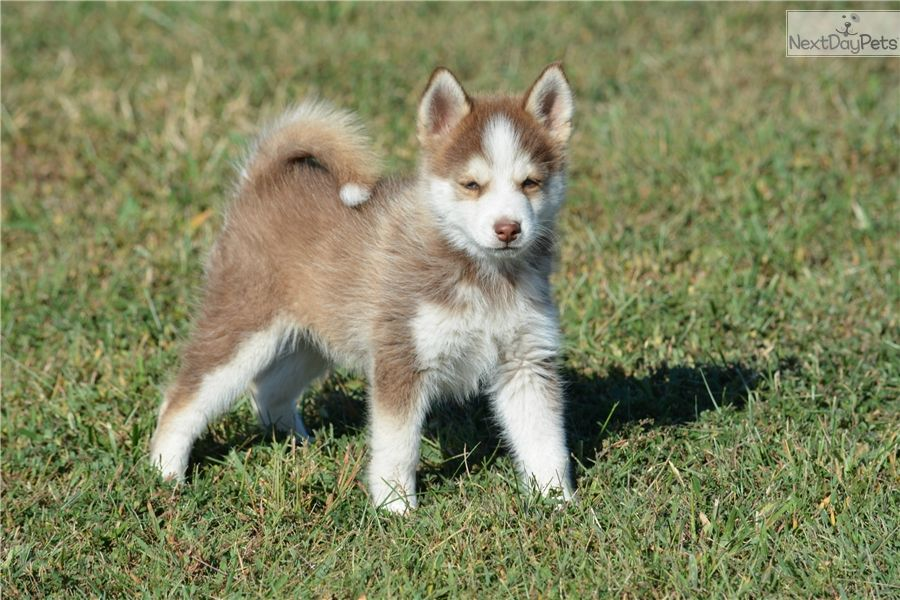 Dna Certified Pomsky Puppy Available Soon Pomsky Pomsky Puppies Pomsky Puppies For Sale