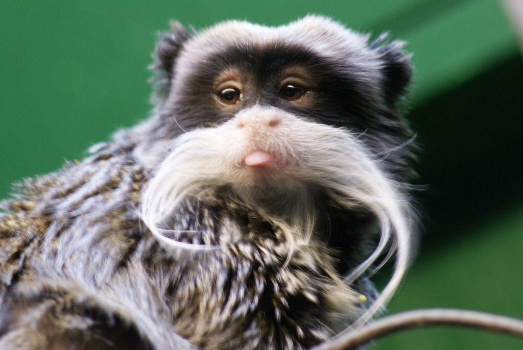 London Zoo Emperor Tamarin Monkey Species London Zoo Emperor Tamarin