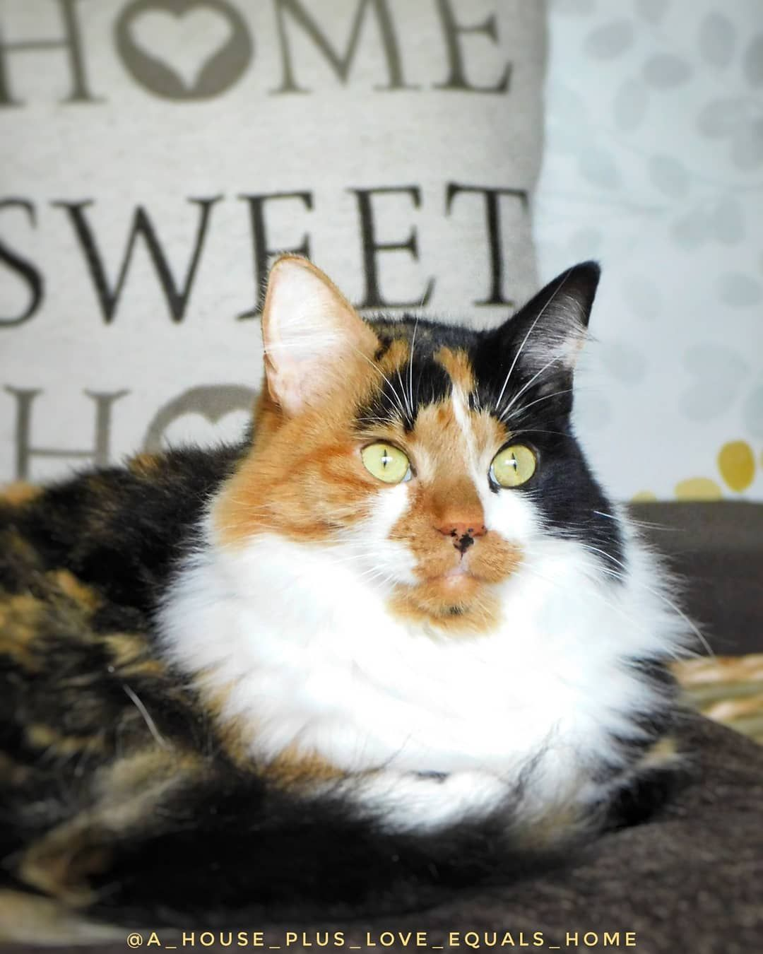 ........  𝐂𝐚𝐭𝐬 𝐦𝐚𝐤𝐞 𝐨𝐮𝐫 𝐡𝐨𝐮𝐬𝐞 𝐚 𝐬𝐰𝐞𝐞𝐭 𝐡𝐨𝐦𝐞  Double tap if you agree!  #calico #calicocat #catsathome #homesweethome #mycat #catlover #catonthesofa #catslife #catphotography #cat Instagram Bridge........ ...
