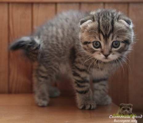 вислоухие котята фотографии