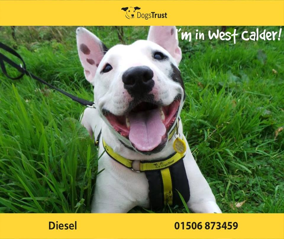 Diesel At Dogs Trust West Calder Is A 4 Year Old English Bull Terrier Cross Diesel Is An Energetic Playful Lad Who Loves Dogs Trust Dogs Dogs For Adoption Uk