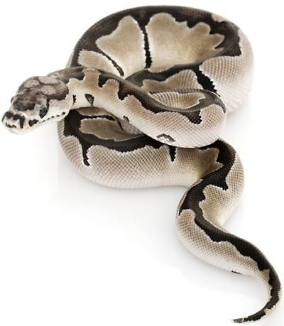 AXANTHIC CLOWN #AnimalswithanAnimalPrint | Exotic Pets ...