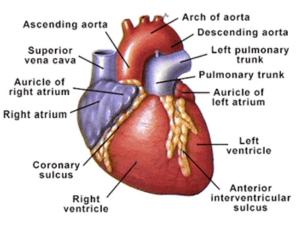 Human heart diagram human body pinterest human heart diagram human heart diagram ccuart Gallery