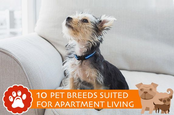 Dog And Cat Breeds Best Suited For Apartment Living With Images Pet Breeds Dog Breeds Dog Rooms