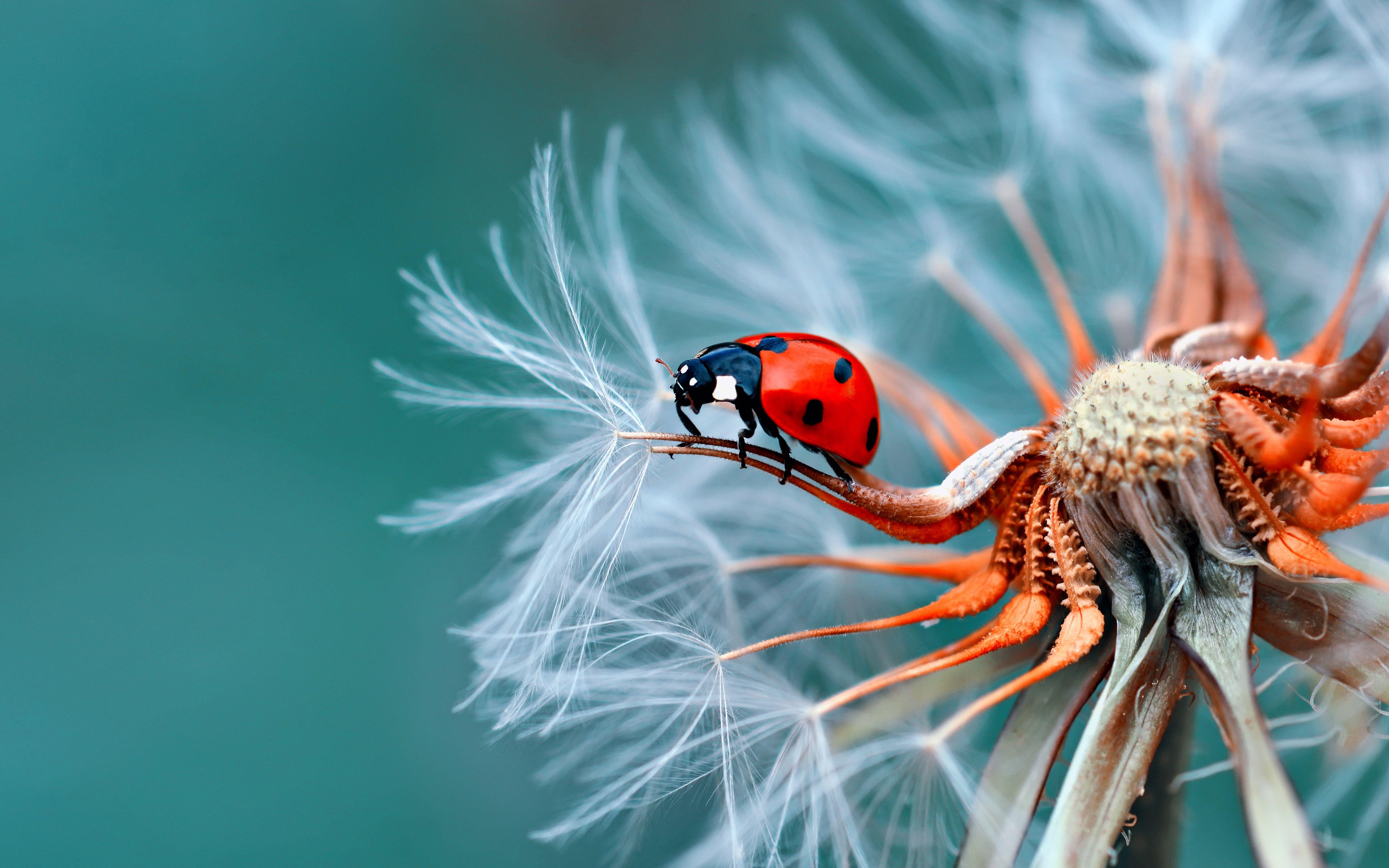 Insect Bubamara On Dandelion Macro Photography Ultra Hd Wallpapers