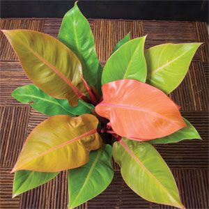 Philodendron 'Prince of Orange' I've been trying to baby ...