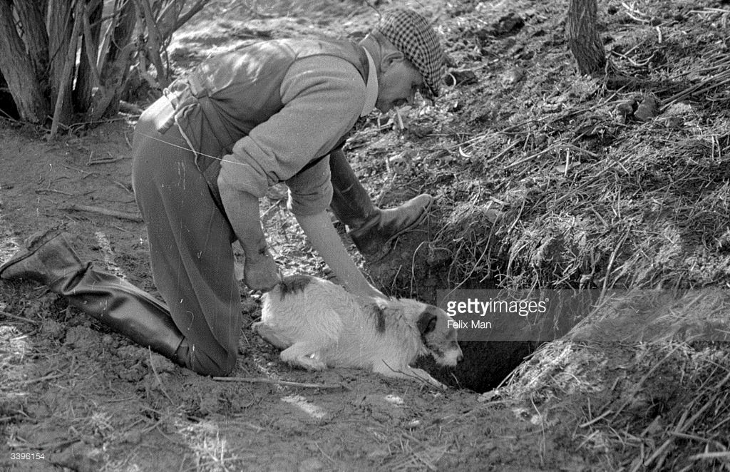 A Man Releases A Jack Russell Into A Badger Sett While Digging For