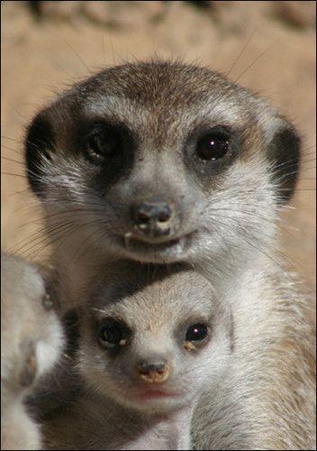 suricatos del desierto de namib - Buscar con Google