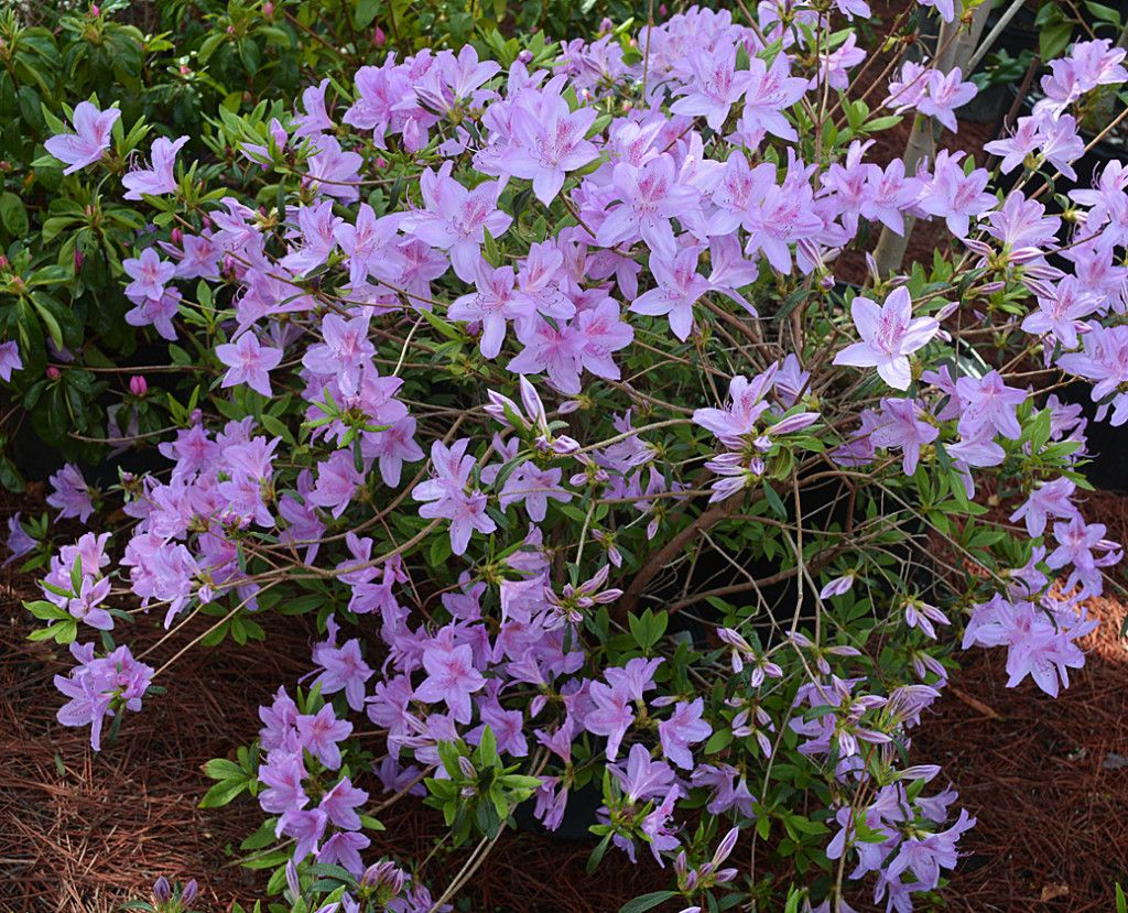 Azalea Poukhanense Korean The Landscape Of Us Early Spring Flowers Showy Flowers Evergreen Shrubs