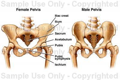 female vs male anatomy - Szukaj w Google | Anatomy | Pinterest ...