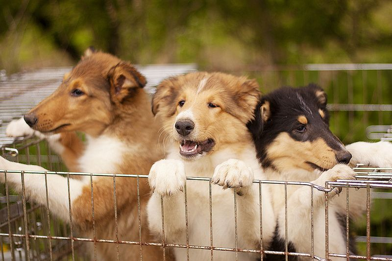Oh my goodness Collie dog, Sheltie dogs, Pet dogs puppies