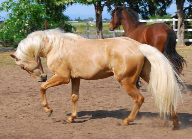 Lourinho AFA a palomino PRE horse like Gold Lusitano