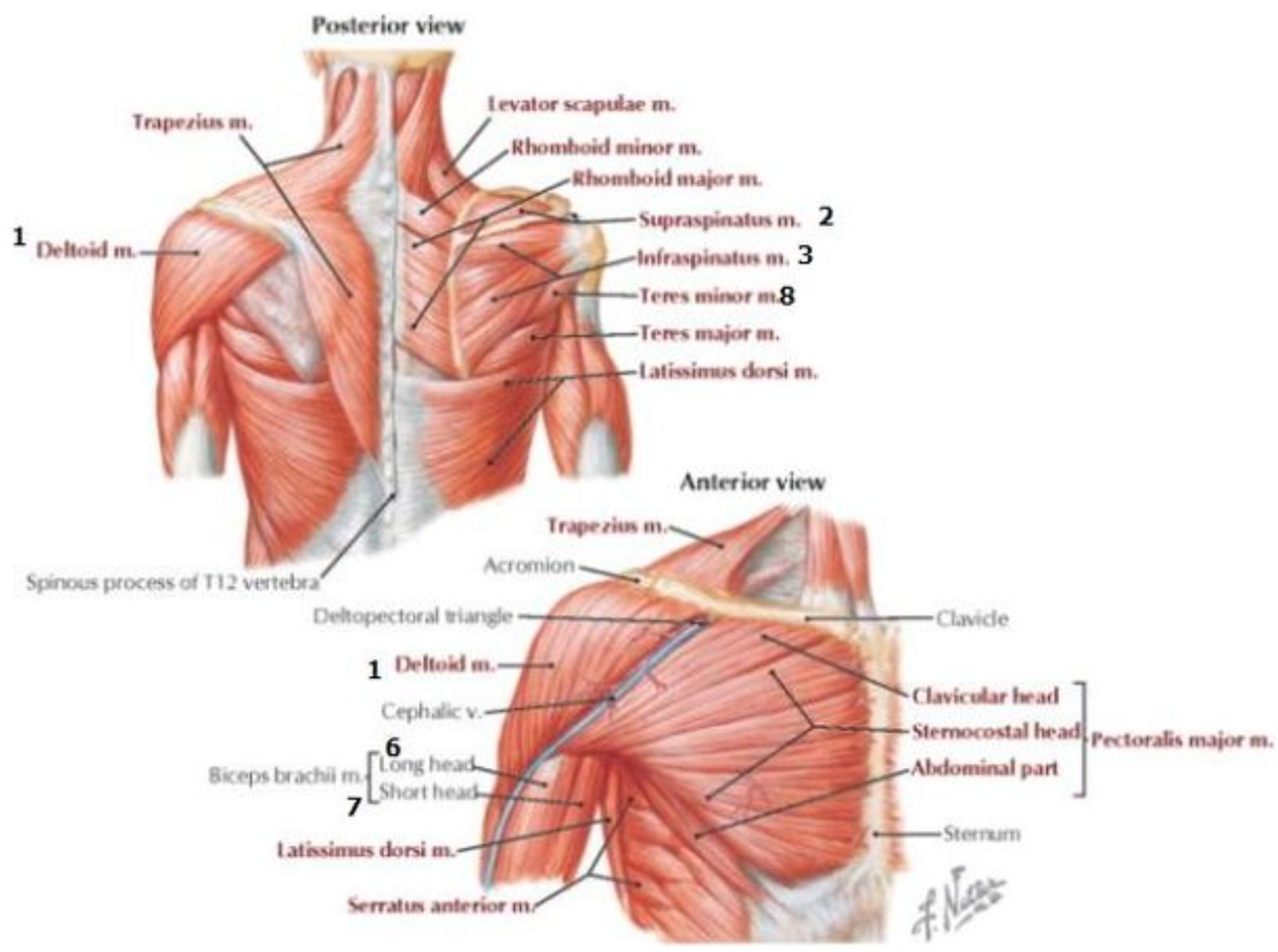 hight resolution of anterior and posterior aspects of the chest back and shoulder netter