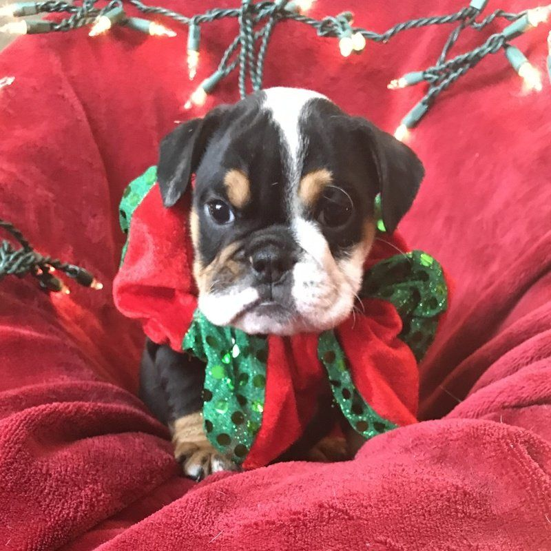 Christmas Day English Puppy AKC Female Black Tri 3800 00