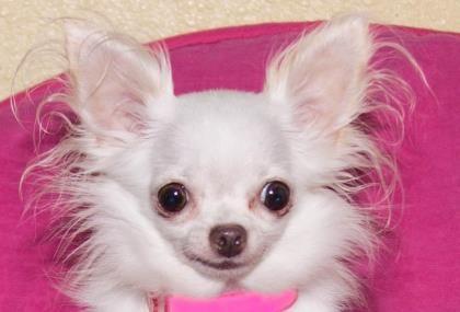 Adopt A Dog A Beagle And A Teacup Chihuahua Dog Adoption Teacup Chihuahua Dogs