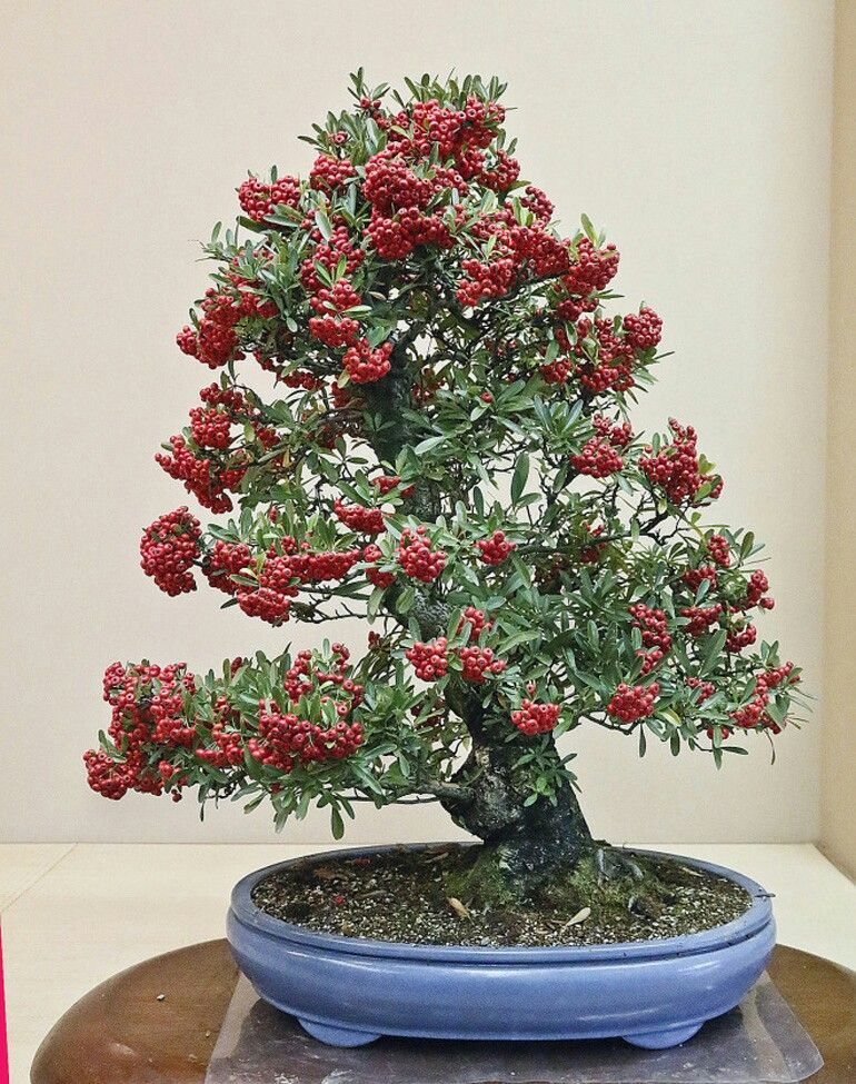 Pyracantha Flowering Bonsai Tree Trees Topiary Potted Plants Terrarium Plant