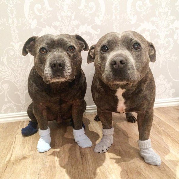 """#Pitbulls- they just look like they're thinking """"why did you put these things on my feet"""""""