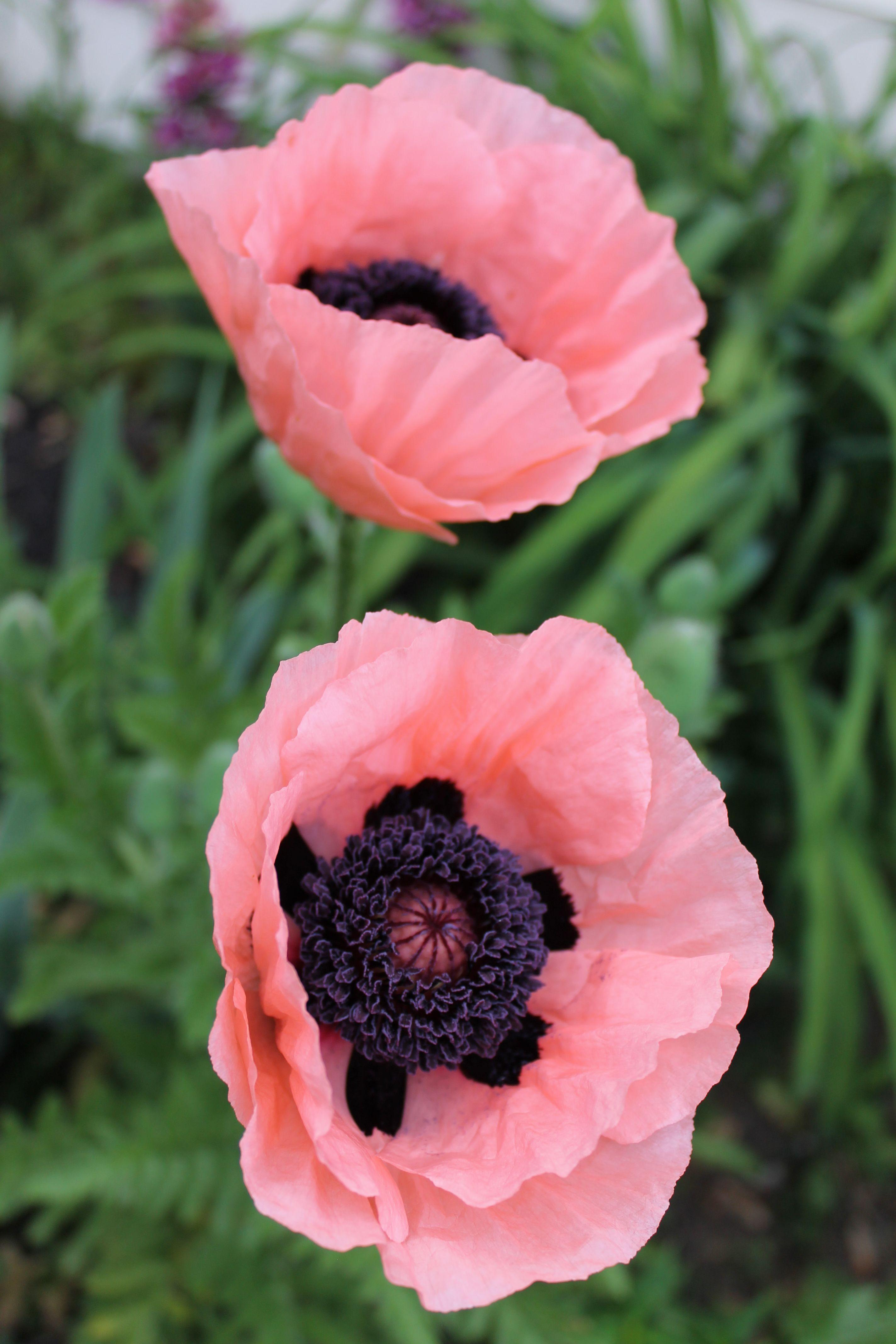 Oriental Poppy Queen Victoria Louise In The Flower Garden
