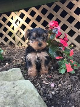 Litter Of 7 Yorkshire Terrier Puppies For Sale In Sugarcreek Oh Adn 31796 On Puppyfinder Com Gend Yorkshire Terrier Puppies Yorkshire Terrier Terrier Puppies