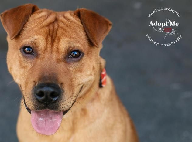 Adopt Timmy On Petfinder Labrador Retriever Retriever Mix Dogs
