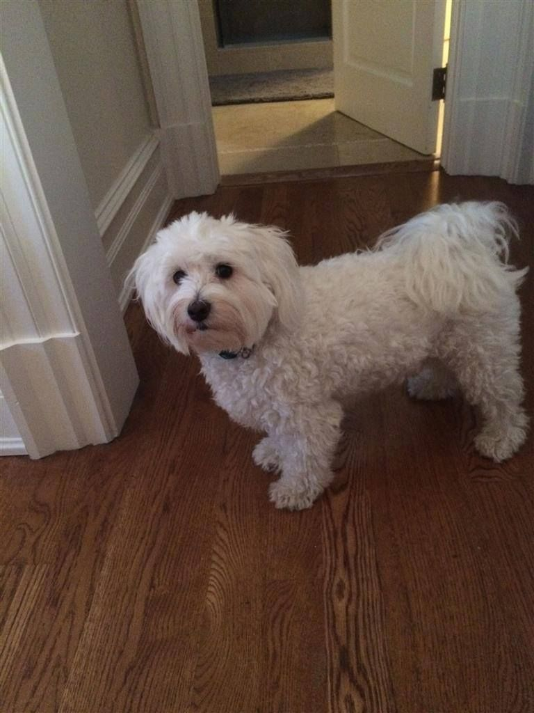 Reunited 2 12 Greenwich Ct Lost White Dog Field Point Rd This Is Skye He Is A Maltese He Went Missing On February 12 B Losing A Pet Pets Animal Photo