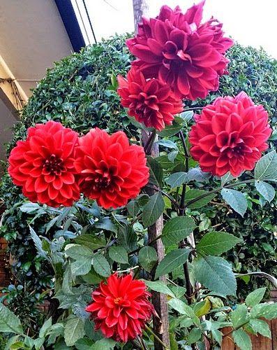 How To Grow And Care Dahlia Plant Dahlia Flower Growing Dahlias Dahlia
