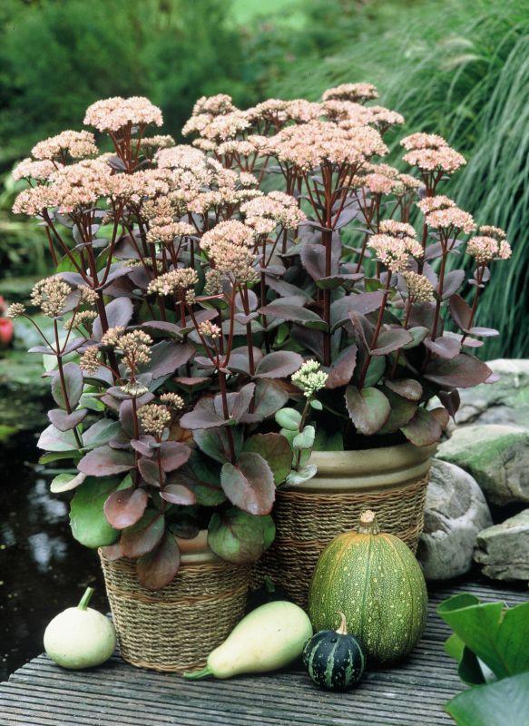 fetthenne sedum matrona sukkulenten pinterest stauden pflanzen und gartenpflanzen. Black Bedroom Furniture Sets. Home Design Ideas