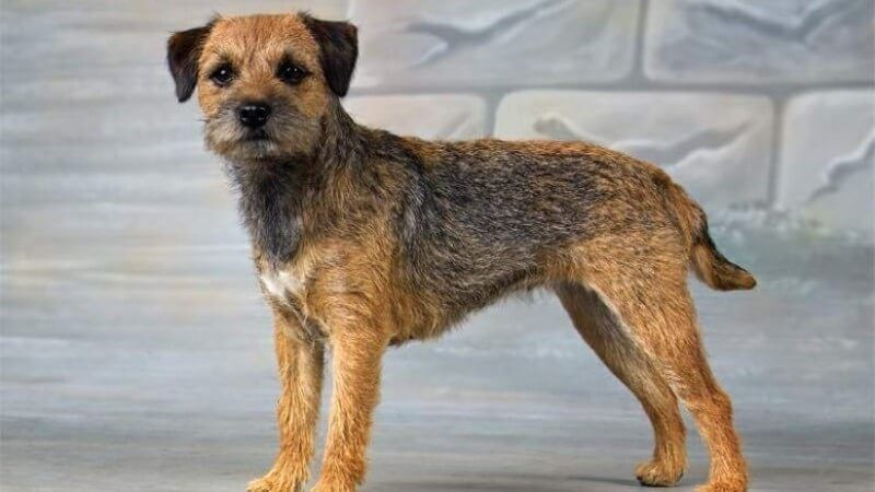 Easiest Dog Breeds To Train Top 12 Listed Here In 2020 Terrier