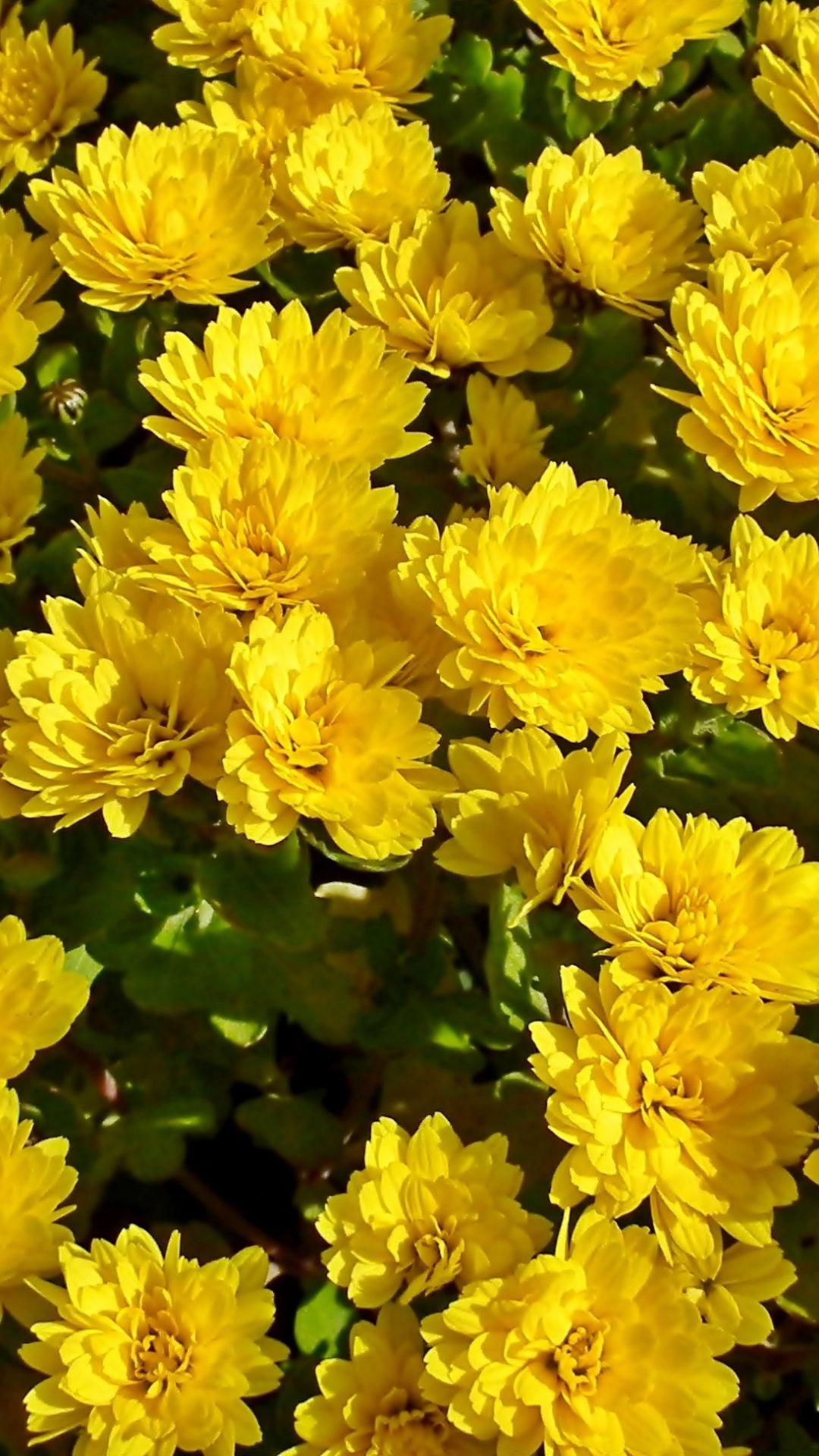 Chrysanthemum Yellow Flowers Bloom 1080x1920 Wallpaper Yellow Flower Wallpaper Yellow Flowers Chrysanthemum Flower