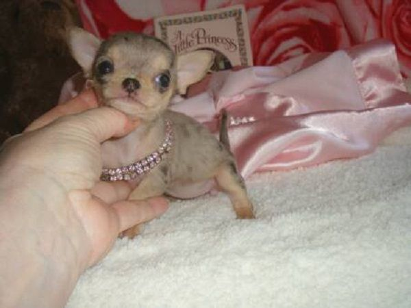 Teacup Chihuahua Puppies For Sale In Pa Zoe Fans Blog Teacup