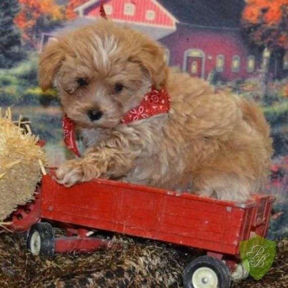 Puppies For Sale Indiana Maltipoo Breeders Maltipoo Puppy