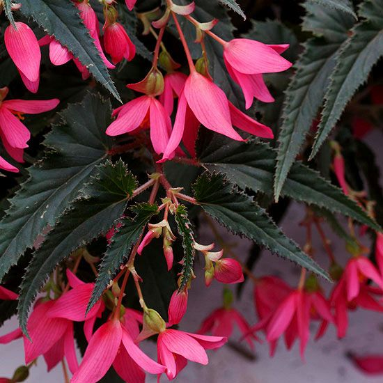 Crackling Fire Begonia Family Fast Growing Flowers Annual Plants Flower Garden