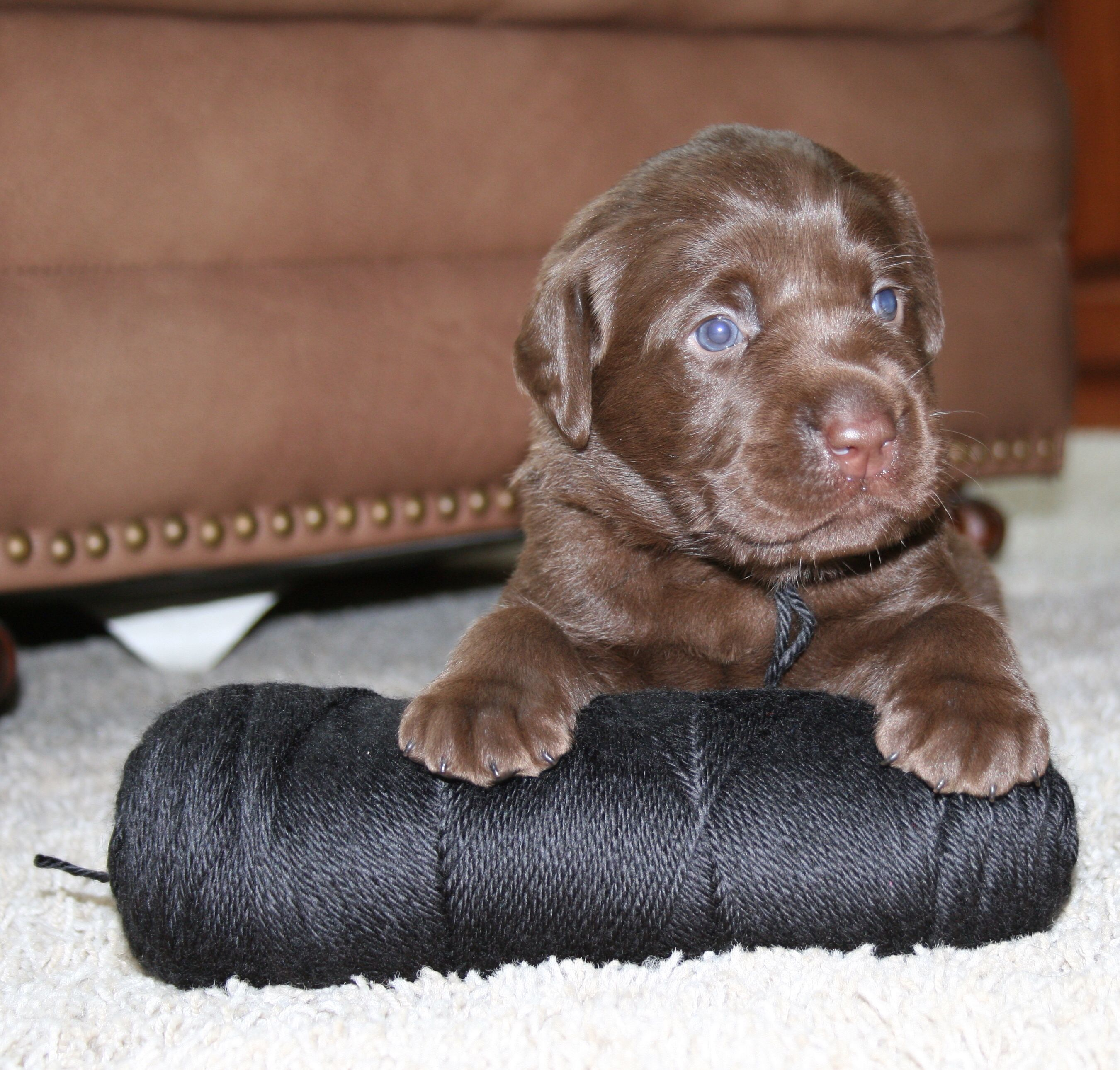 Chocolate Lab Puppy He S 3 Weeks Old And Very Handsome
