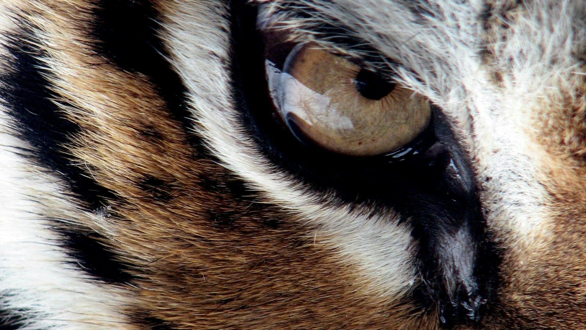 Kral Kaplan Tiger Wallpaper Lion Eyes Tiger Wallpapers