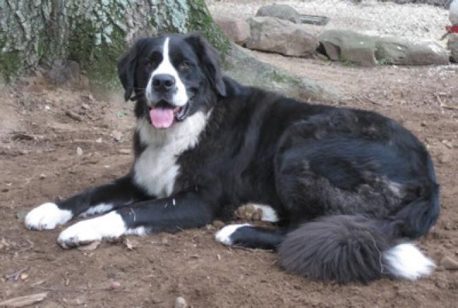 Saint Dane Saint Bernard X Great Dane Dog Dogs Hybrid Dogs