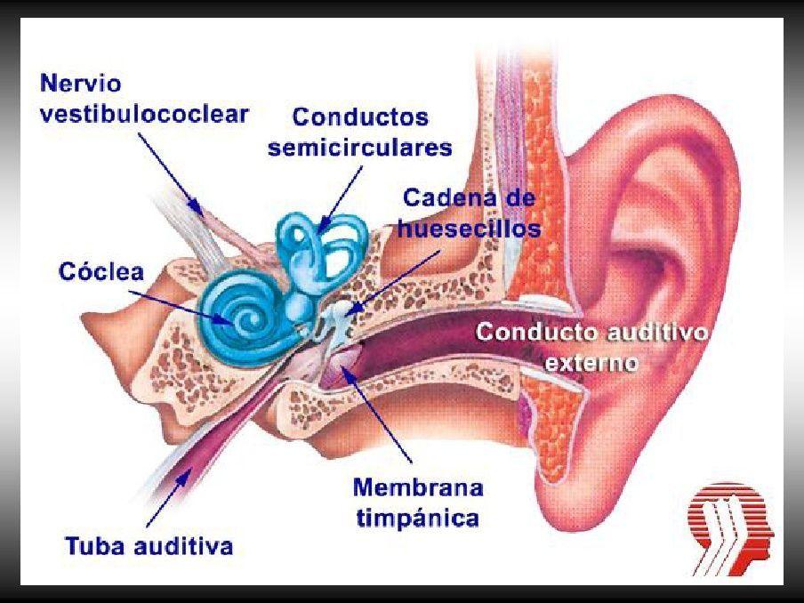 Anatomia del oído   Audiología y audífonos   Pinterest   Los oidos ...