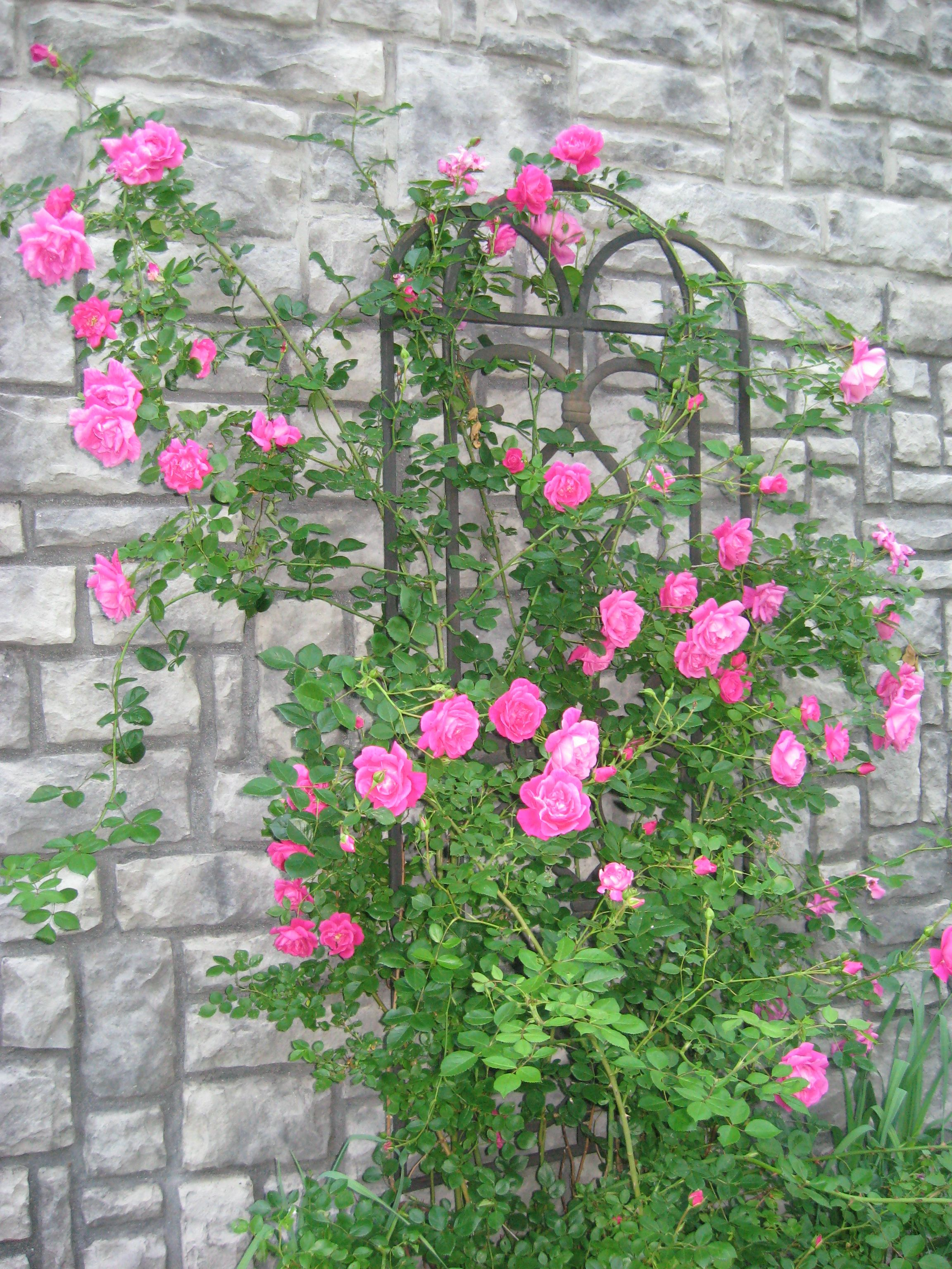 Rosebush - oldfashion, started as a transplanted twig from my former home.