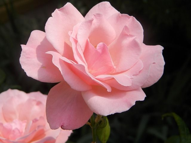 picture of knockout roses-4 #knockoutrosen picture of knockout roses-4 #knockoutrosen