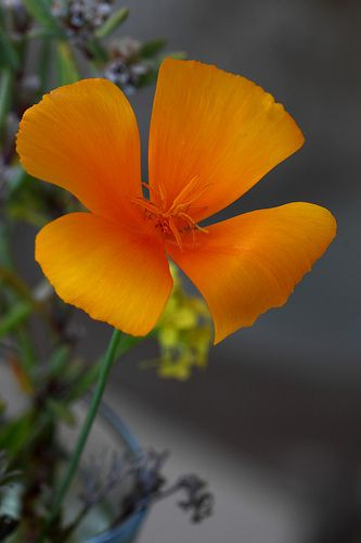 Eschscholzia californica ( amapola de california) | mariluz picado garrido | Flickr