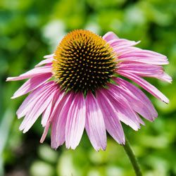 Perennial flowers image gallery perennials gardens and flowers purple coneflower also known as echinacea is a heat tolerant flower a native perennial that grows wild from ohio to iowa and south to louisiana and mightylinksfo