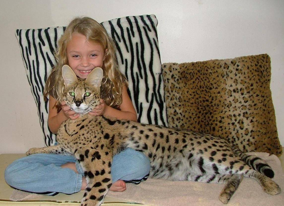 A Savannah cat is a cross between a domestic cat and the