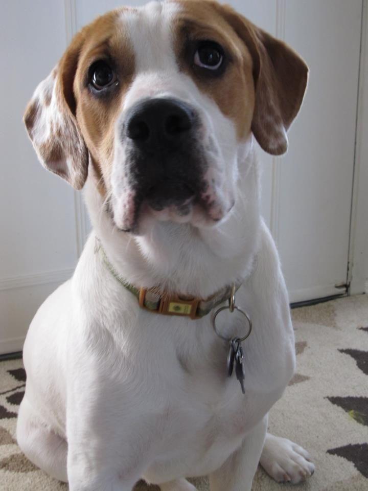 D 120 Beabull Beagle English Bulldog Cute Animals