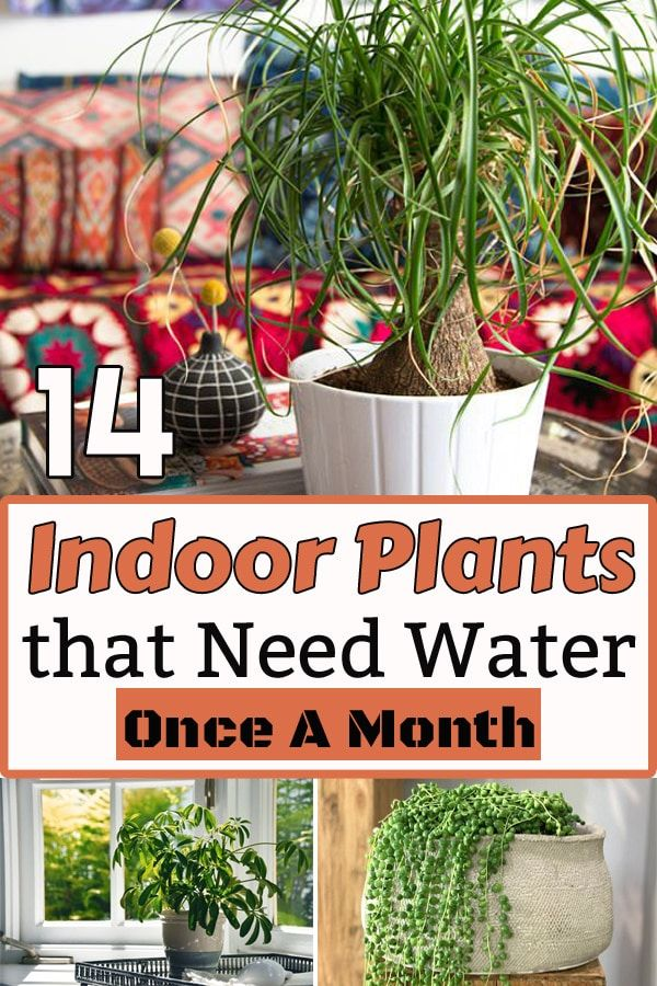 14 Indoor Plants That Need Water Once a Month is part of Plants, Indoor plants, Low water plants, Water plants indoor, Water plants, Inside plants - If your reason for being a houseplant murderer is a busy lifestyle or forgetful nature, grow these 14 Indoor Plants that Don't Need Water before a month