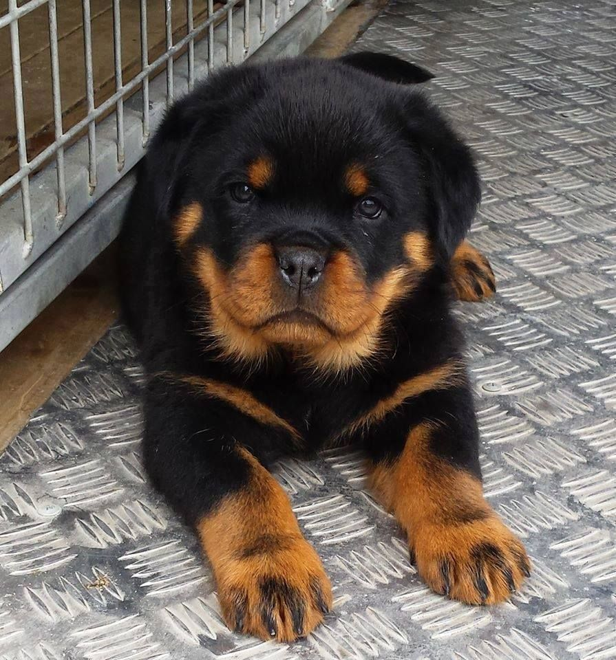 Freaking Awesome On Twitter Rottweiler Puppies Rottweiler Dog Breeds