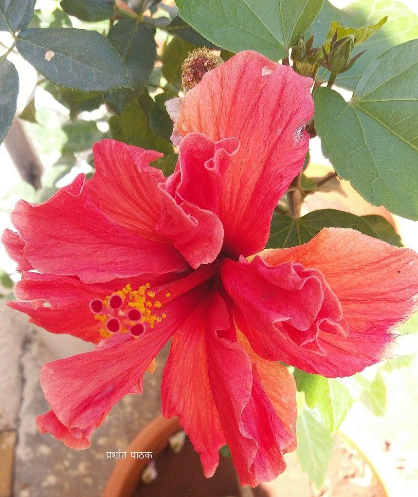 Hibiscus. Home Garden. Pune. India. Mobile Snap. 1102