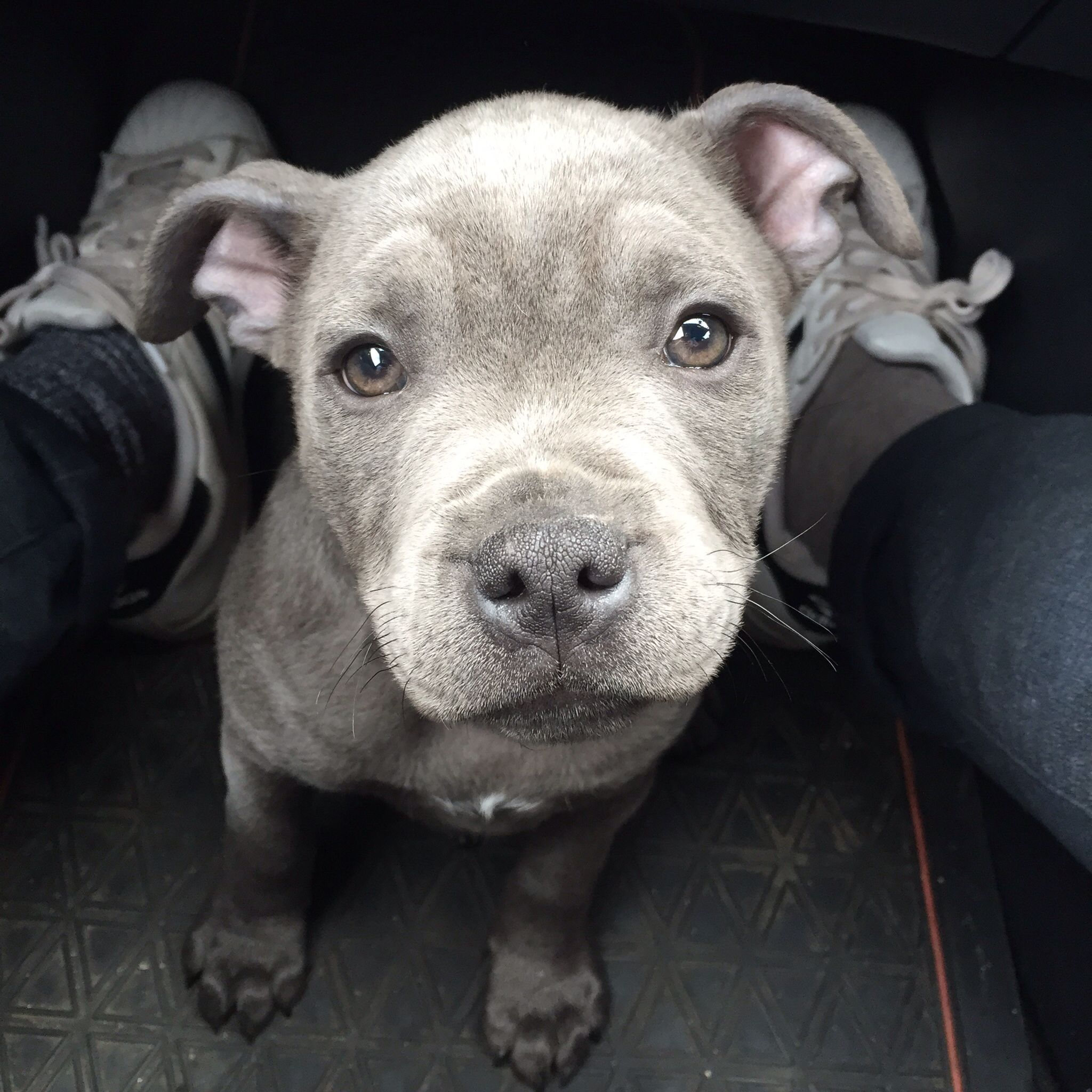Pitbull 3 Meses Rico Kc Silver Bluestaff My Full Blue Staffordshire