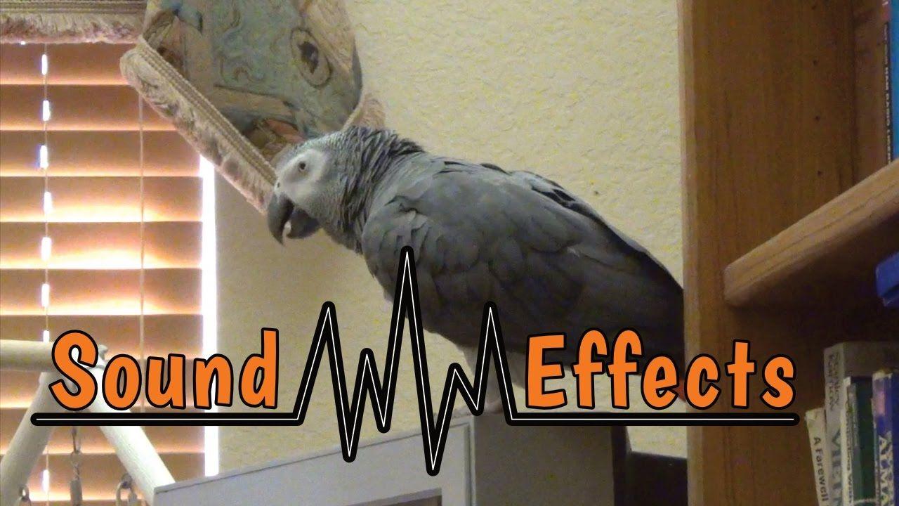 Einstein Parrot practices his sound effects   My Talking
