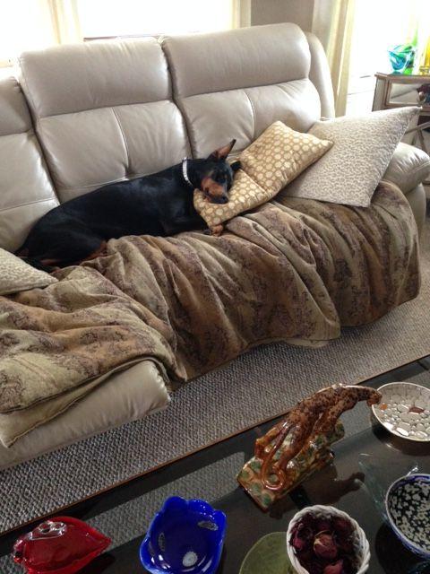 Taking a nice nap! doberman sophie