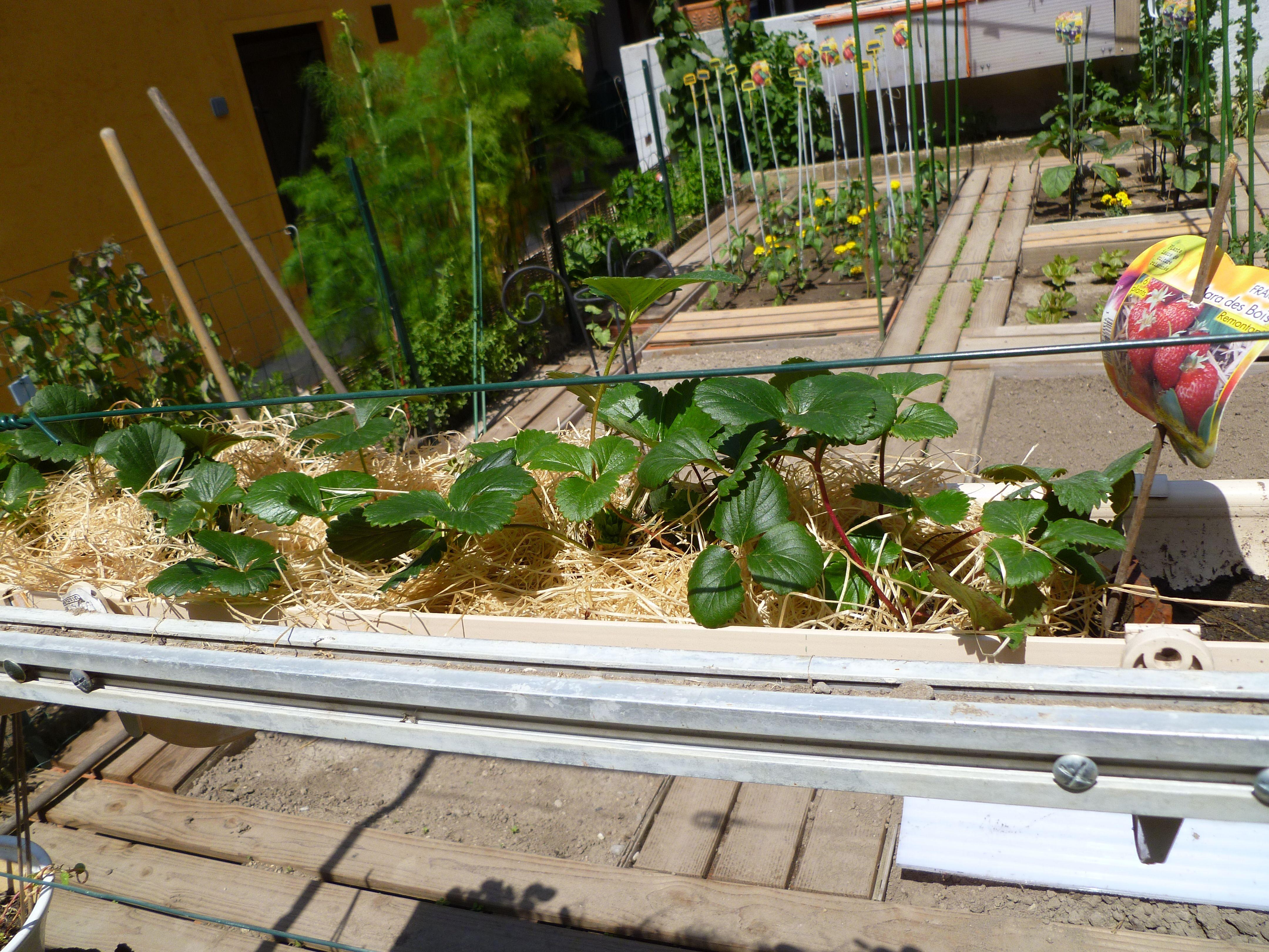 partie jardin astuce les fraisiers ont t plant s dans des goutti res au dessus du potager. Black Bedroom Furniture Sets. Home Design Ideas