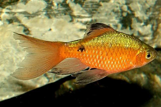 Long Finned Rosy Barb Aquarium Fish Freshwater Aquarium Fish Cool Fish